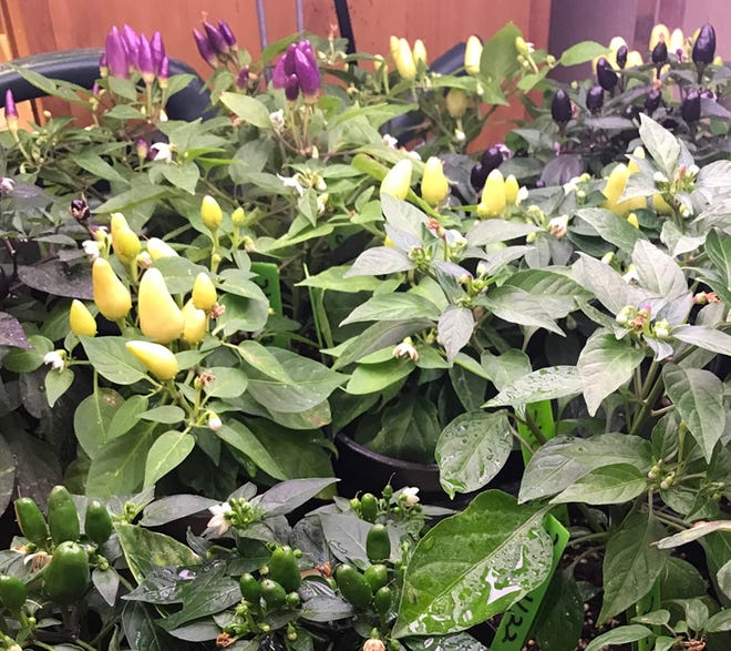 Ornamental chile peppers are now on sale at New Mexico State University's Chile Pepper Institute.