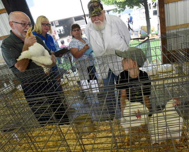 Poultry judge Bill Karcher reacts to one of the three boiler chickens  that Lyndon Delmotte, 9, of the Dundee 4-H entered in the 4-H small animal showing at the Monroe County Fair.  The other judge is Bob Johns, along with Julie Linn and Carol Herkimer with 4-H recording the judges comments Sunday.