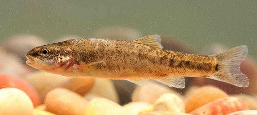 Amargosa Canyon speckled dace