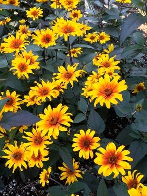 Burning Hearts false sunflower features brilliant orange and yellow flowers.