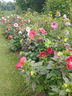 Hardy hibiscus flowers often bloom late in the summer, adding color to many yards and landscapes.