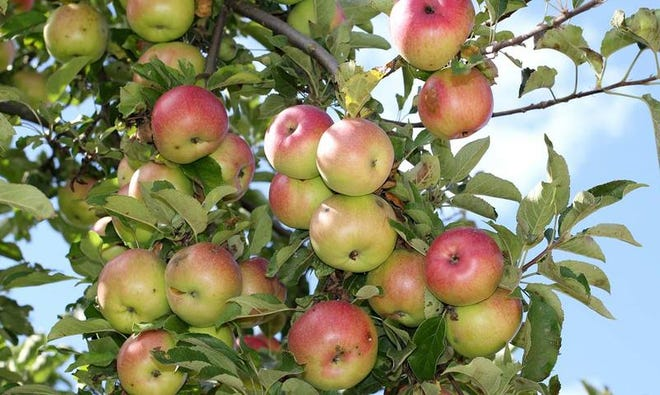 When looking at apple ripeness, variety is crucial. For a few varieties, you can estimate apple ripeness from the time of the bloom.