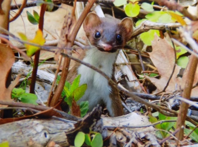 One of our most secretive and seldom-seen predators, the long-tailed weasel.