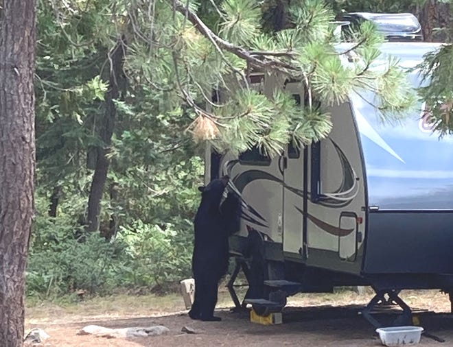 """Fowlers Campground along the McCloud River has been closed due to an """"assertive"""" bear roaming the campground."""