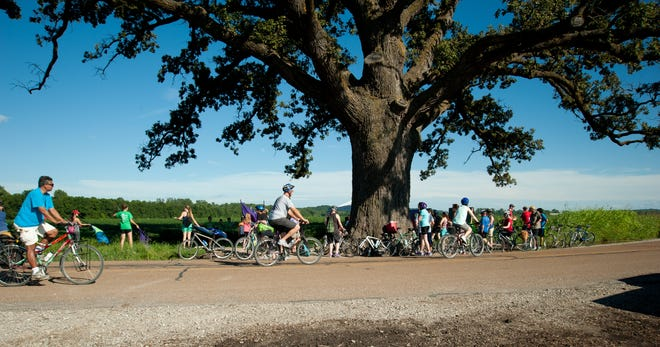 Riders pass the McBaine Bur Oak, known as the Big Tree, during the 2016 Boone Dawdle.