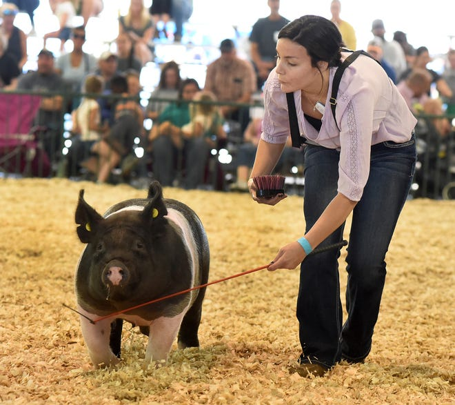 Taylor Albring, 17, of Temperance shows her medium weight barrow in the 4-H swine show Tuesday morning at the Monroe County Fair. Albring took home the honor of Swine Reserve Grand Champion.