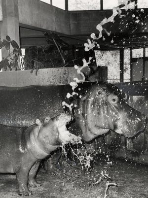 """Mathilda and her baby get a cool spray of refreshing water in August 1970 at the Oklahoma City Zoo. Mathilda was just a baby herself when she arrived at Oklahoma City's Lincoln Park Zoo on Dec. 24, 1953. She gained early fame after Gayla Peevey's hit song, """"I Want a Hippopotamus for Christmas,"""" was used to bolster schoolchildren's fundraising efforts to bring the hippo from New York to Oklahoma City. Mathilda's own baby weighed 35 pounds when it was born on Nov. 12, 1969, becoming the first hippopotamus born at the Oklahoma City Zoo. This photo was published Aug. 5, 1970, in The Daily Oklahoman."""