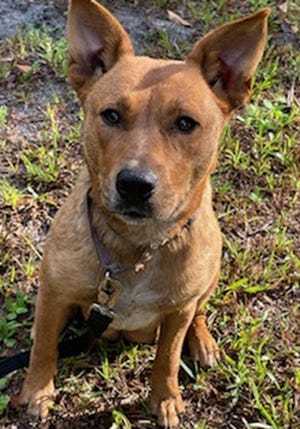 Poppy, a female adult Carolina dog mix, is available for adoption from Wags & Whiskers Pet Rescue. Routine shots are up to date. Call 904-797-6039 or go to wwpetrescue.org.