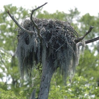 An Osprey nest sits at the top of a tree along the bank of the Northeast Cape Fear River on land currently owned by Titan America LLC Wednesday May 21, 2008.