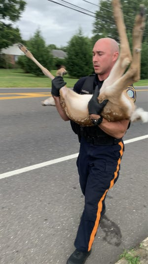 Mount Laurel Ptl. Daniel Butchko rescues an injured fawn Sunday, Aug. 1, 2021, on Church Road in Mount Laurel in South Jersey after it was struck by a vehicle.