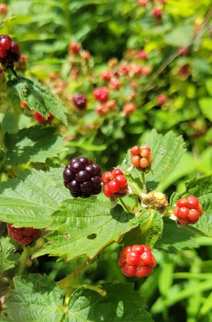 Black raspberries (Rubus occidentalis) are shown at a Red-Tail Land Conservancy nature preserve in Muncie.