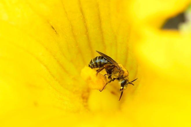 A honey bee explores a zucchini blossom.