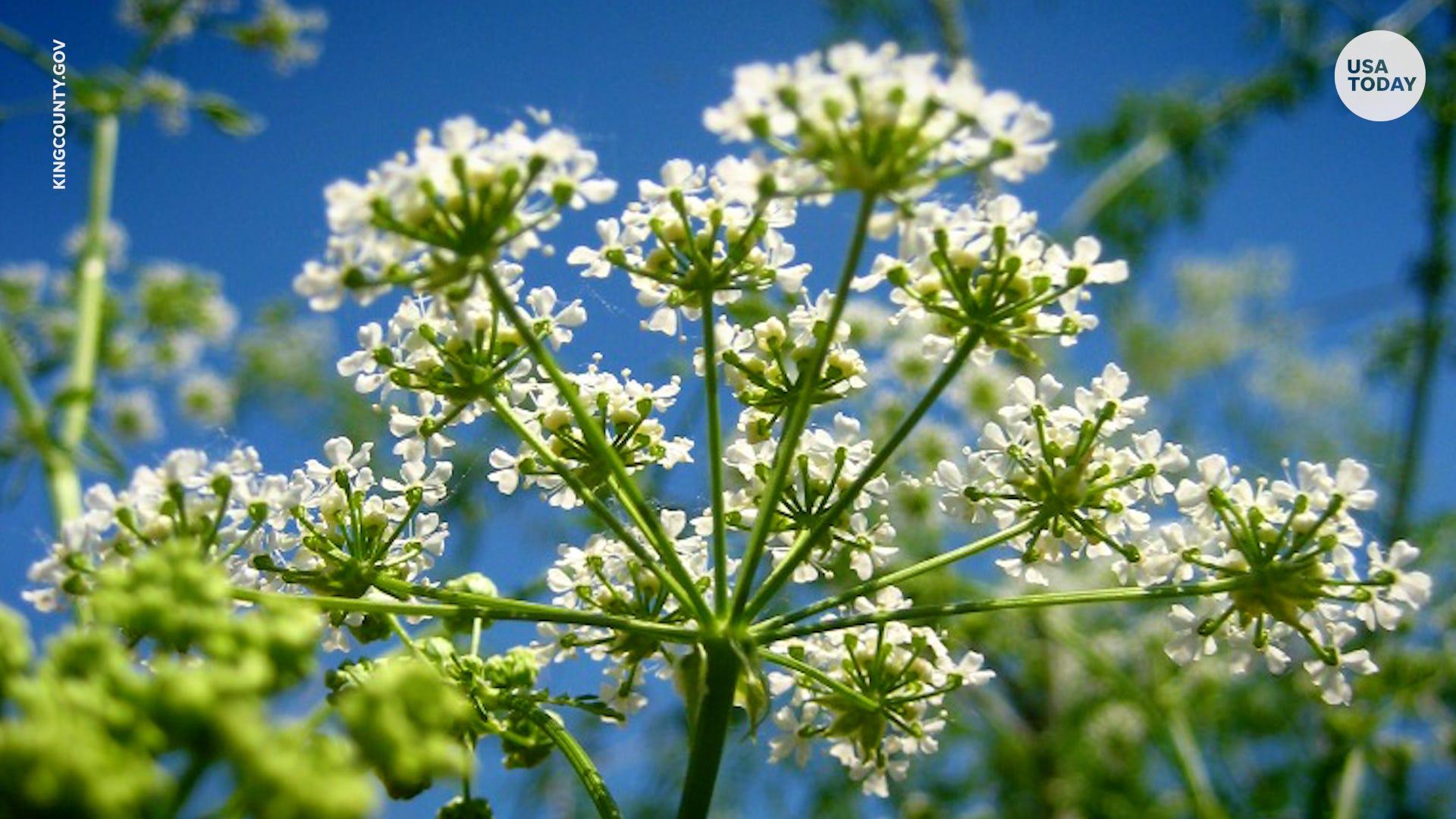 Poison Hemlock: Deadly invasive species rapidly spreading across the US
