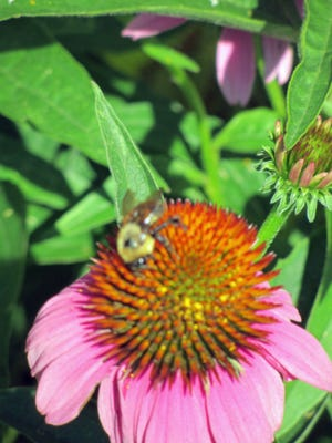 This bee is hard at work in the flowers in a South End garden.