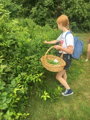 Plymouth South High School student Maren Dudley collects raspberries to use as red dye for the art project.