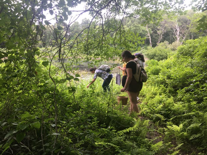 Art students and their teachers collect plants for their art project on the Herring Pond Wampanoag Tribe along Dina Path in Cedarville.