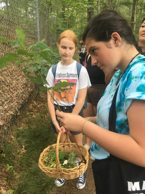 Hannah Caple examines a sassfras plant while collecting material for an art project at Dina Path, a Native burying ground in Cedarville.