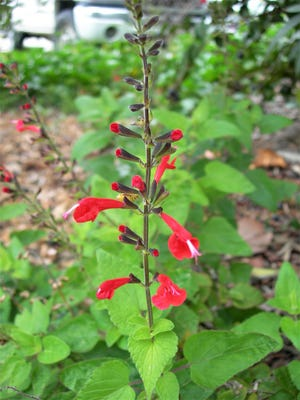 Scarlet sage, a Florida native, is a must for gardeners who plant for butterflies and hummingbirds. It is of easy culture, requires very little care and is propagated from seeds and cuttings.