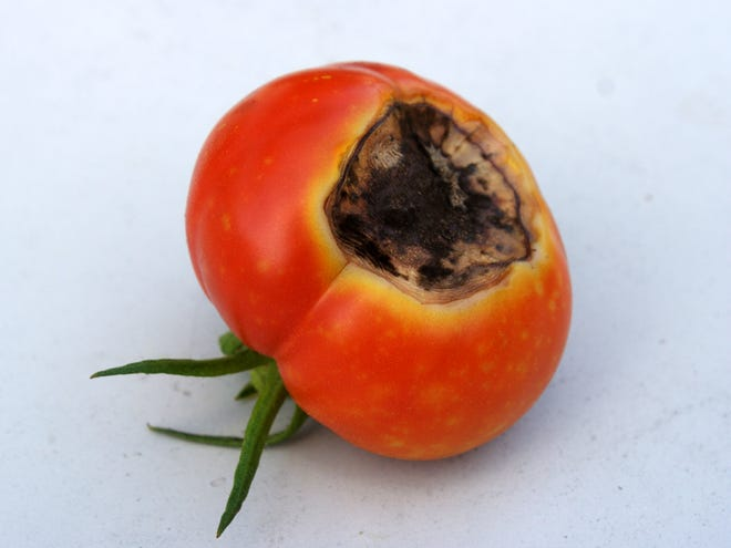 A lack of calcium in fruits will cause their bottoms to rot.