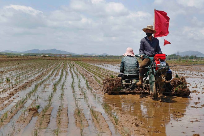 In this May 25, 2021 photo, farmers plant rice at the Namsa Co-op Farm of Rangnang District in Pyongyang, North Korea.