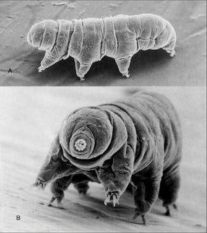 Paramacrobiotus tonollii