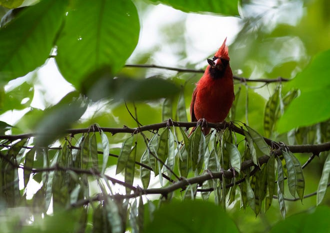 A male cardinal perches on the limb of a red bud tree while snacking on lunch – a plump insect – at Wesselman Nature Preserve Thursday morning, Aug. 5, 2021. The recent arrival of a mysterious bird illness has necessitated the removal of the preserve's bird feeders which has forced the birds to hunt for their own meals.