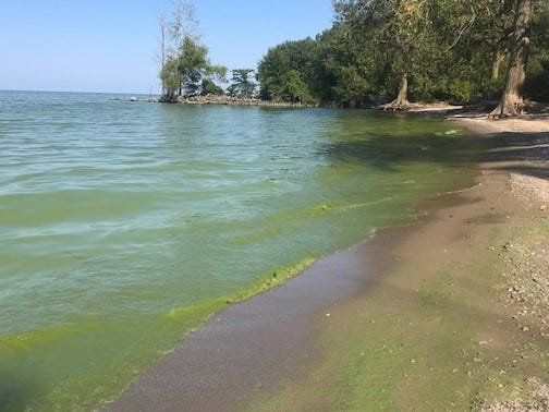 Western Lake Erie's harmful algal bloom could be seen on Magee Marsh Wildlife Area's shoreline Wednesday. It now covers approximately 180 square miles in the lake. People and their pets are advised to stay out of the water where there are concentrated levels of algae.