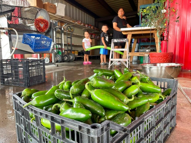 This July 12, 2021, image shows a basket of freshly harvested green chile waiting to be roasted at Grajeda Hatch Chile Market in Hatch, New Mexico. Farmers say the season is shaping up to be a good one, with transplanted fields in southern New Mexico among those where workers are busy picking peppers.