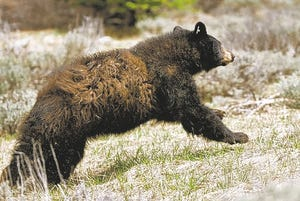 A black bear is released into the wild by the Nevada Department of Wildlife in 2008.