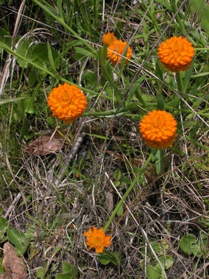 Orange milkwort, a native herb, blooming now, has some of the most brilliant orange flowers you can ever see.
