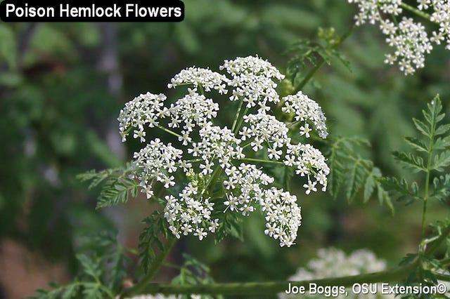 Poison hemlock flowers grow in umbrella shaped clusters.