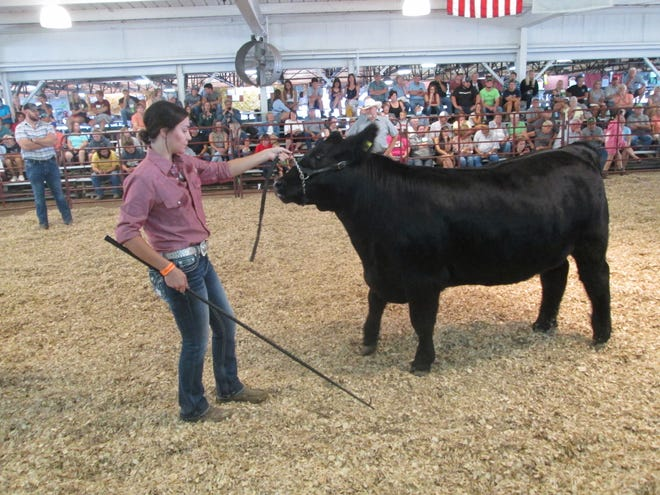 Taylor Albring of Temperance showed her 1,370-pound steer at the fair Wednesday. This photo was taken moments before she suffered an injury when her steer accidentally stepped on her foot.