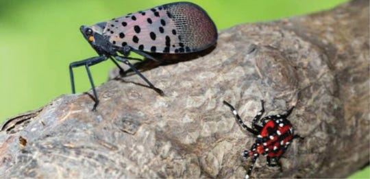 An adult spotted lanternfly is on the left, upper part of the photo and a nymph is on the lower right.