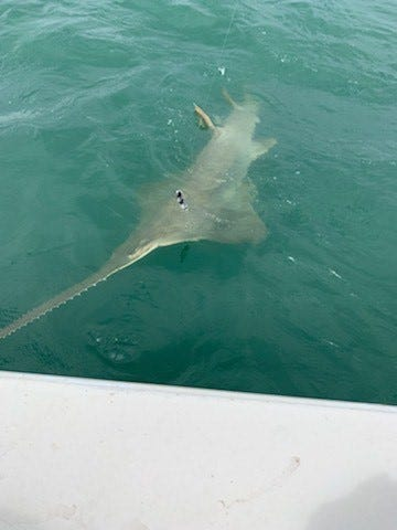What kind of fish is that? Wisconsin family makes  super rare  catch in Florida waters.
