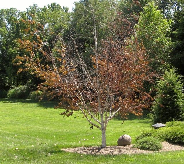 A birch tree damaged by the bronze birch borer.