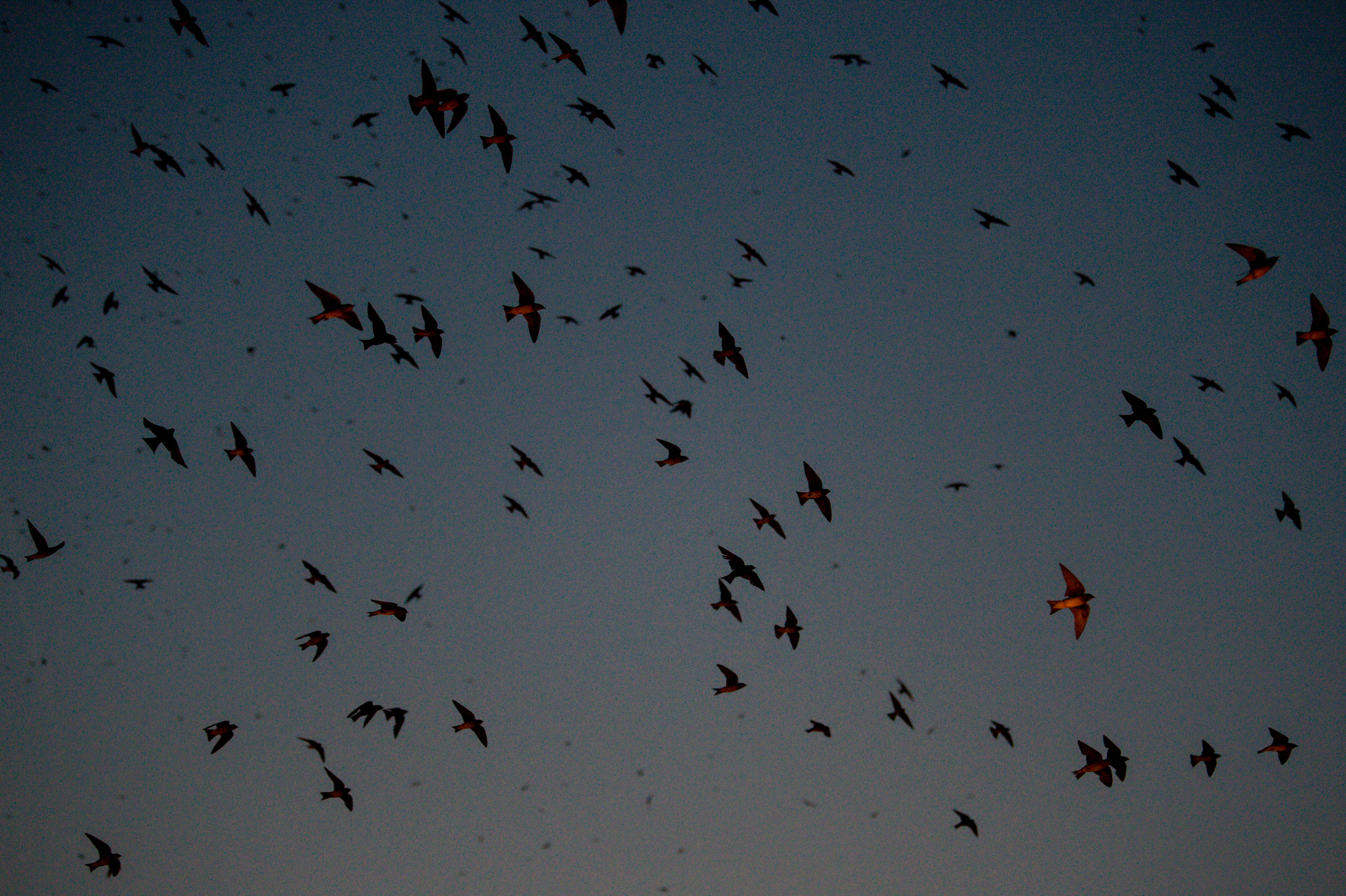 Tens of thousands of purple martins fly over downtown while roosting at the Schermerhorn Symphony Center in Nashville, Tenn., on Thursday, Aug. 5, 2021.