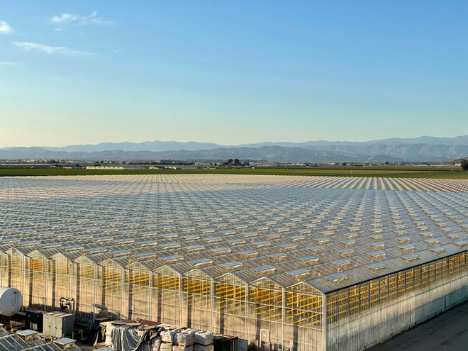 Glass House Brands will use 40 acres of the 120 acres Houweling Nurseries Oxnard, Inc. greenhouse facility to grow cannabis for recreation, health and wellness purposes.