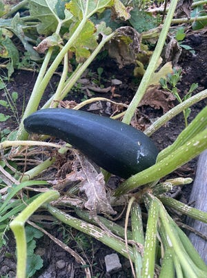 Author Jerry Apps initially started his acquaintance with zucchini in his garden in a big way. Today he has pared down the plantings of this prolific summer squash.
