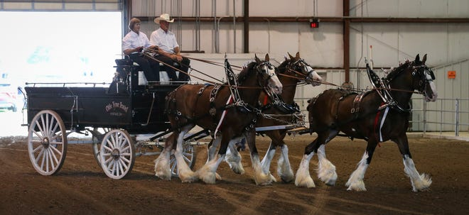 Debbie Bechstein (left) and Bill Herrig, of Old Tyme Travel Clydesdales from Portage, OH, demonstrate a 3-point hitch with their clydesdales (left to right) Molly, 12 years old, Fin, 8 and Myra, 20 at the lead, Friday evening at the Monroe County Fair.[Photo by DANA STIEFEL]
