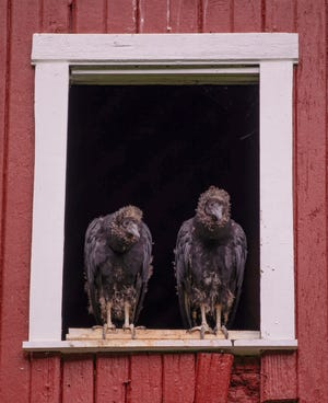 A pair of juvenile black vultures perch in a window of the Highland County barn in which they were born.