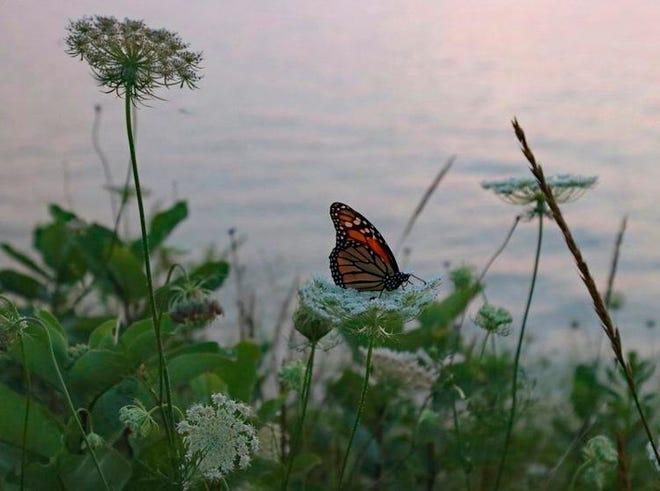 Monarch on the Lake: A monarch butterfly lands on Queen Anne's Lace near the eastern shore of Lake Michigan.