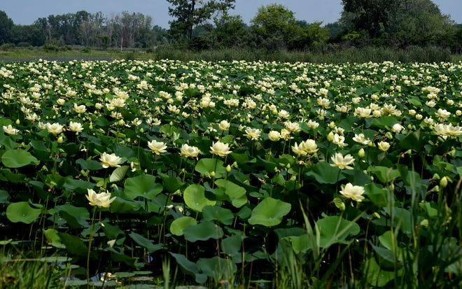 An abundance of lotus flowers are in bloom out in the wetlands near the Sterling State Park boat launch.