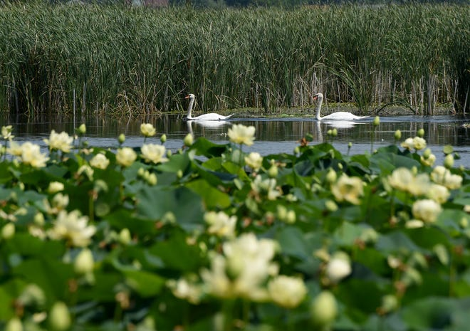 A pair of swans glide through the marsh at Sterling State Park.