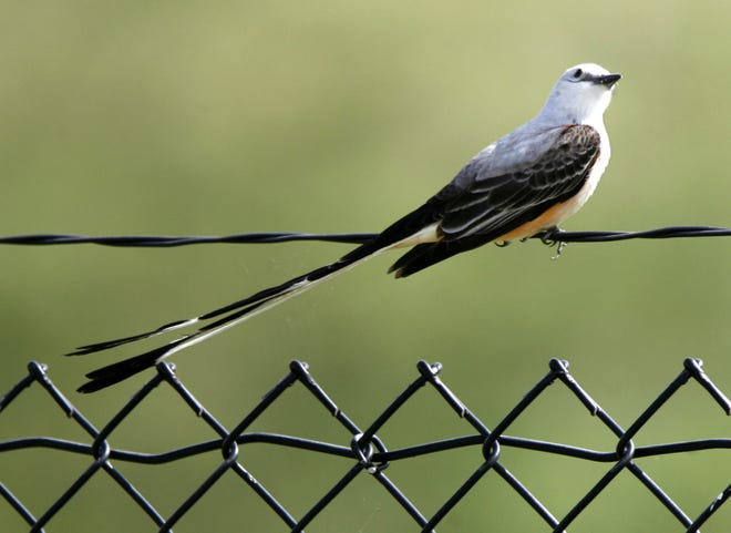 A scissor-tailed flycatcher perches on a fence near Lake Hefner. This state-honored bird migrates away from Oklahoma in the winter, but it leaves a year-round legacy.