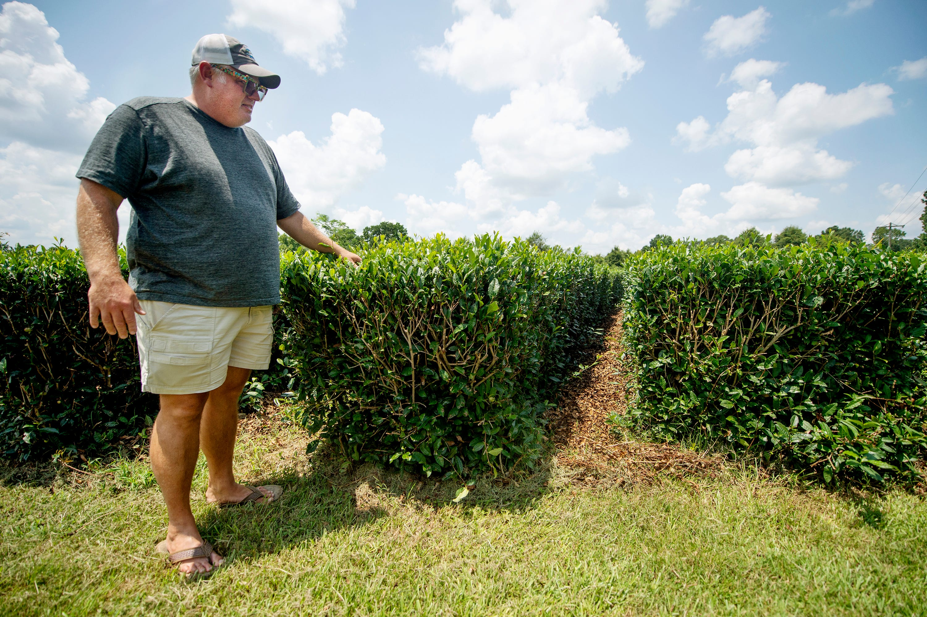 Jason McDonald stands next to rows of tea plants on his farm.
