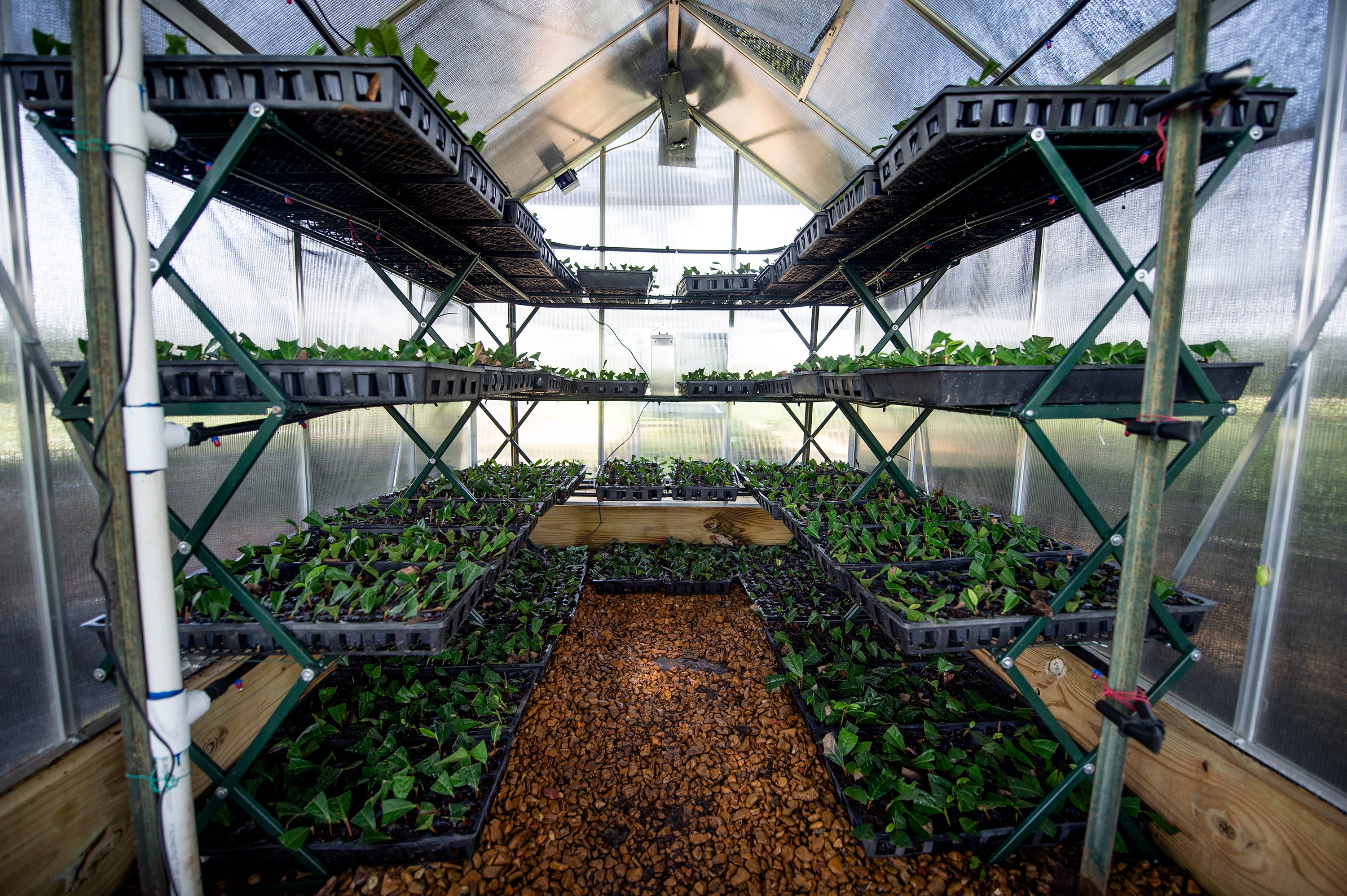 The Great Mississippi Tea Company's nursery is seen here  in Brookhaven, Miss., Thursday, July 29, 2021. The early stages of tea cultivation begins in the nursery.