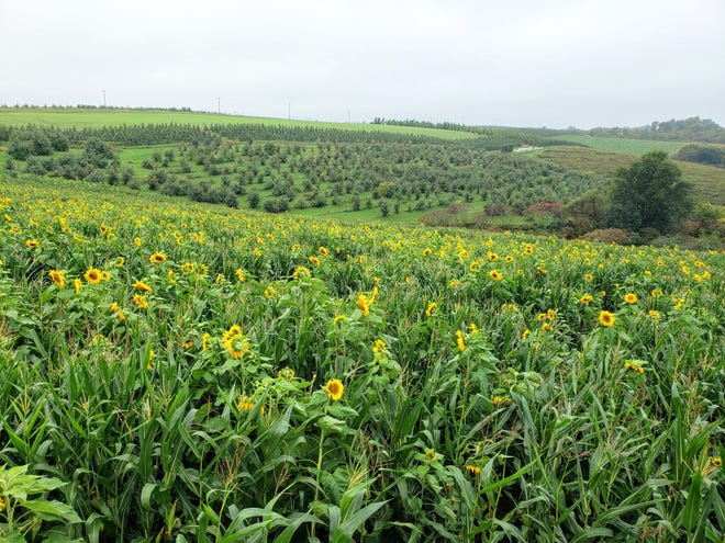 A sunflower field and apple orchard dot the hills around Kickapoo Orchard outside Gays Mills.