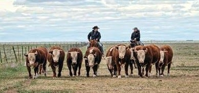 Copeland and Sons, LLC is primarily a purebred and commercial Hereford operation that has been in business for 78 years.