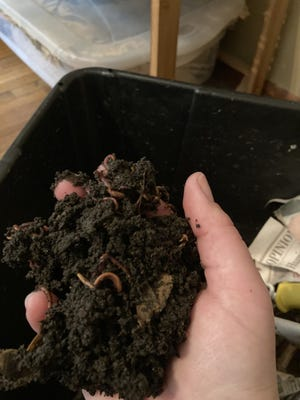 Red wigglers are best for vermicomposting.