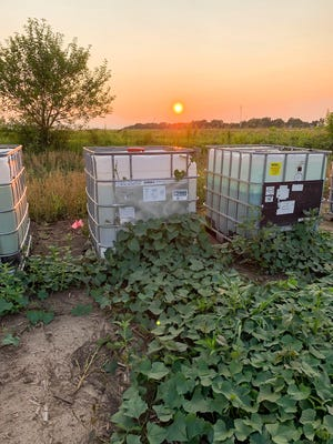 Specialty grower Jill Uken waters her sweet potatoes with soaker hoses connected to water tanks seen in the back. She uses 12 tanks, one for each crop row in her Champaign County plot.